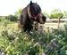 Ponys Tipo Shetland Para Escuela en venta en España
