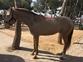 Caballo lusitano cremello en venta en España