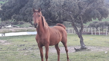 Se vende caballo domado capa alazan
