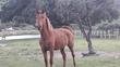 Se vende caballo domado capa alazan en venta en España
