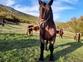 Caballo hispano breton