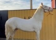 Potro PSL Albino