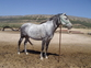 Vendo mi caballo en venta en España