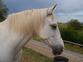 caballo hispano arabe