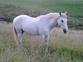 caballo hispano arabe  en venta en España