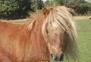 Venta Pony montado Y enganchado en venta