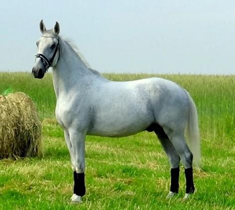 Amazing grey gelding