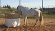 Se vende caballo español  en venta