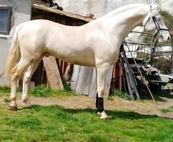 Se vende potro albino