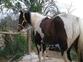 Semental Paint Horse en venta en España