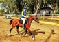 Caballos árabes (PRá) clasificados en 40, 60, 80, 80* y CEI* en venta