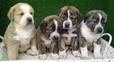Cachorros de mastin