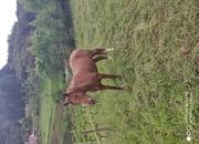 Se vende caballo angloarabe