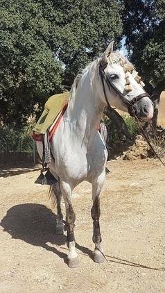 Yegua pura raza española