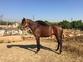 Potro Castaño P.R.E en venta en España
