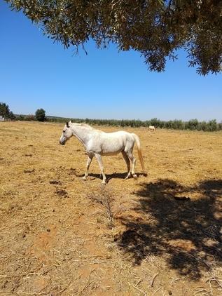 se vende caballo anglo-árabe