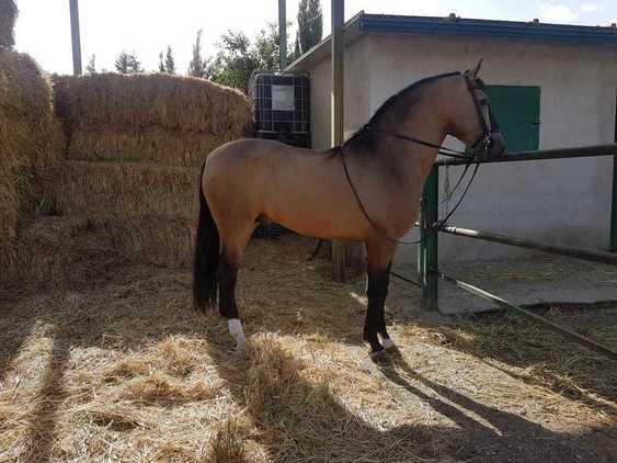 Se vende caballo pura raza española entero de capa bayo