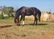 Vendo caballo pre negro