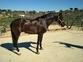Vendo caballo Pre  en venta en España