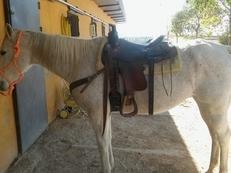 Quarter horse caballo