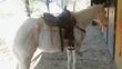Quarter horse caballo en venta en España