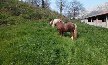 Caballo hispano breton espectacular