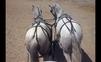 Caballos Pura Raza Española (P.R.E.) en venta en España