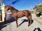 Venta de caballos  en venta en España