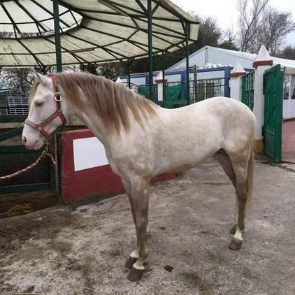 Yeguada Ortega, potros y caballos de calidad!!Albinos, Castaños,Negros, Alazanes,Tordos, Bayos, Perlas y Apaloosa