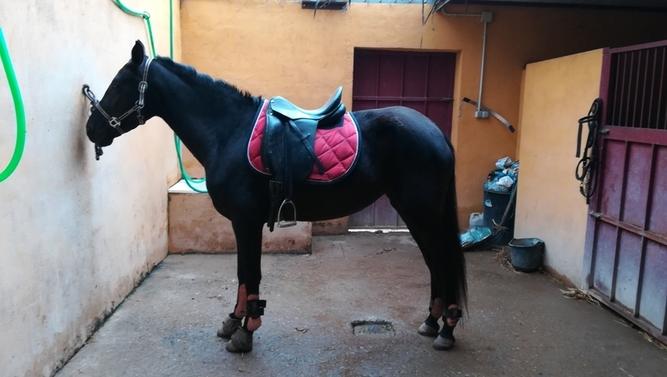 Magnífica yegua española negra