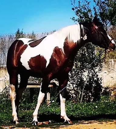Paint horse semental